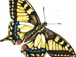 Образ жизни и описание <b>бабочки Махаон</b>