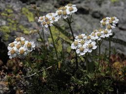 Achillea erba-rotta subsp. moschata (Wulfen)