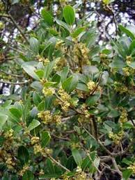 Phillyrea latifolia PFAF Plant Database