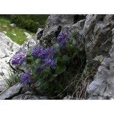 Genere Paederota - Flora Italiana