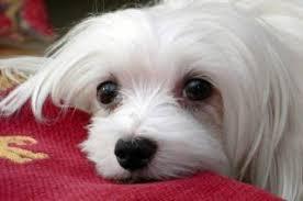 Το ελαιόλαδο ωφελεί το σκύλο;
