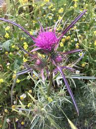 Syrian Thistle (Notobasis syriaca) · iNaturalist.org