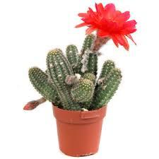 Магические и целебные свойства кактуса