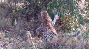 Leopards Face Off With Giant Python - Digg
