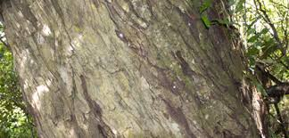 Image result for rimu tree bark