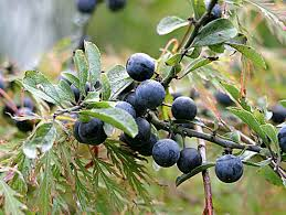 Image result for sloe gin