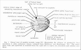 heart determination in a newt antone g jacobson the right and left heart rudiments are at the most anterior dorsal edges of the lateral plate mesoderm these cells are readily experimented