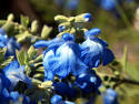 Images & Illustrations of blue sage