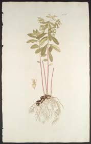 Euphorbia carniolica – Wikipedia