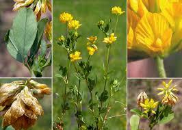 Trifolium patens Schreb. - Sistema informativo sulla flora vascolare ...