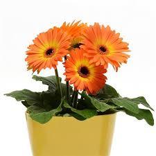 Revolution™ Bicolor Yellow <b>Orange Gerbera</b>