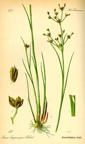 Juncus foliosus - Wikipedia