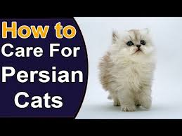 How to Identify Types of <b>Persian Cats</b> - YouTube