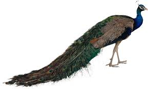 <b>Декоративные</b> птицы купить в России. Продажа по низким ценам ...