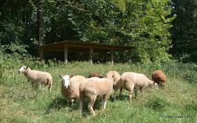 what to feed sheep for prime wool production countryside network what to feed sheep