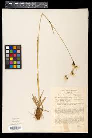 SEINet Portal Network - Eriophorum latifolium
