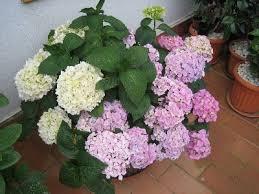 Resultado de imagen de hortensias blancas