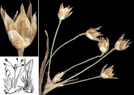 Luzula luzulina (Vill.) Racib. - Sistema informativo sulla flora delle ...