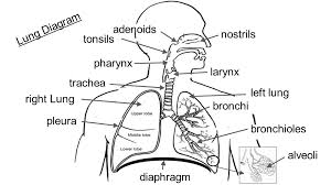 lung diagram nostrils adenoids tonsils pharynx larynx trachea    lung diagram nostrils adenoids tonsils pharynx larynx trachea right lung pleura bronchi bronchioles alveoli diaphragm left