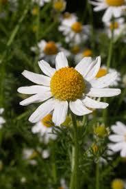 Anthemis cotula Calflora