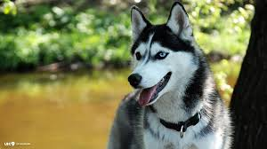 Image result for siberian husky