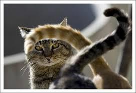 Bildresultat för katt utan svans bild