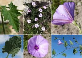 Convolvulus althaeoides L. - Portale sulla flora del Parco Nazionale ...