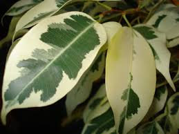 Image result for ficus benjamina