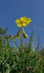 Gelbes Sonnenröschen – Wikipedia