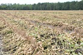 Image result for georgia peanut fields