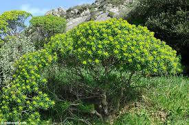 Euphorbia dendroides - Tree spurge