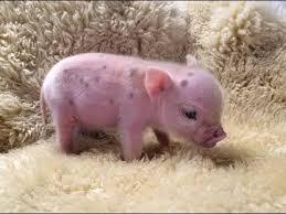 <b>CUTE</b> MICRO <b>PIG</b>   MINI <b>PIG</b> VIDEO Compilation - YouTube