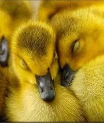 「ducks sleep」的圖片搜尋結果