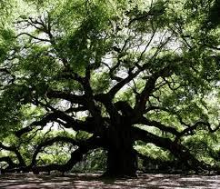 Image result for Live Oak Tree