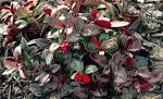 Images & Illustrations of creeping wintergreen