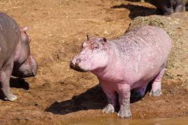 <b>Pink</b>-<b>Hippo</b> Pictures: Rare Youngster Spotted in Kenya