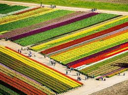 Holland's top 4 places to marvel at <b>tulips</b> | Booking.com