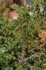 Rosa pulverulenta - Wikispecies