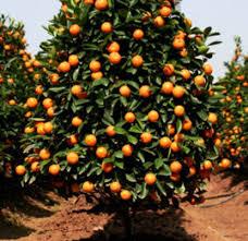 """Képtalálat a következőre: """"narancsfa"""""""