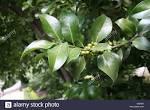 family aquifoliaceae