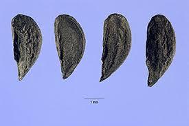 Plants Profile for Allium paniculatum (Mediterranean onion)