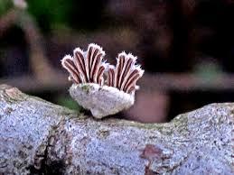 Splitgill mushroom