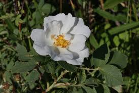 Rosa gallica - Michigan Flora