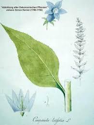 Online Virtual Flora of Wisconsin - Campanula latifolia