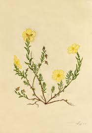 Fumana arabica (L.) Spach | Flora of Israel Online