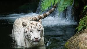 Image result for white siberian tiger cubs