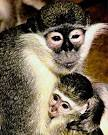 african green monkey