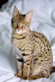 Resultado de imagem para savannah cat