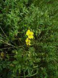 Лапчатка золотистоцветковая - Potentilla chrysantha - Описание ...