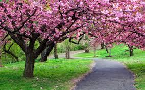 Ketahuilah!!! Berikut Manfaat Bunga Sakura Untuk Kecantikan Kulit...